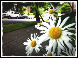 daisys in seattle